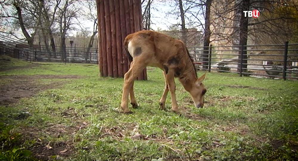 Детеныш антилопы в Московском зоопарке
