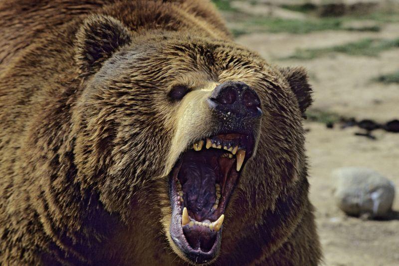 фото разъяренного медведя