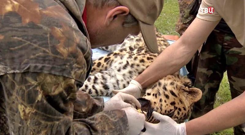 Осмотр дальневосточного леопарда