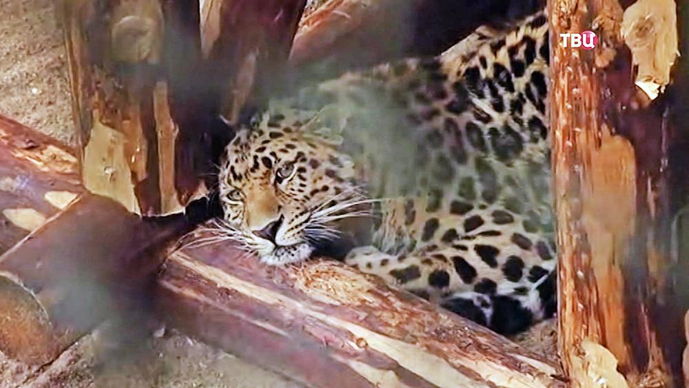 Дальновосточный леопард в вольере