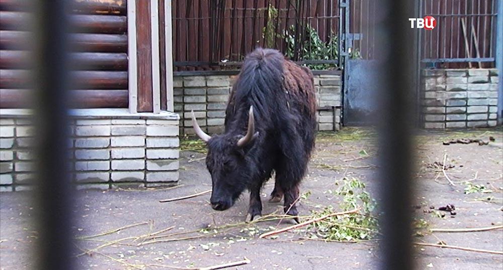 Тибетский як в Московском зоопарке