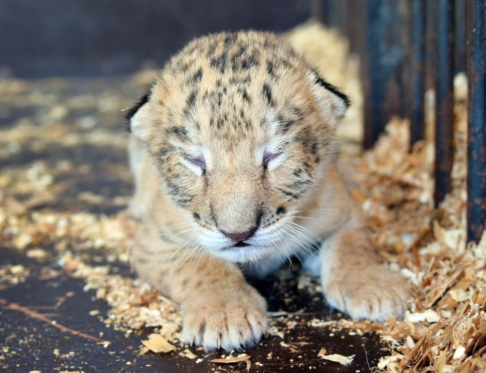 Тигрольвёнок