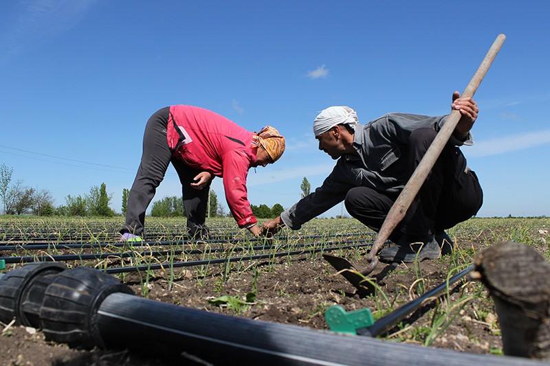 Обработка полей с посаженным ялтинским луком в Крыму