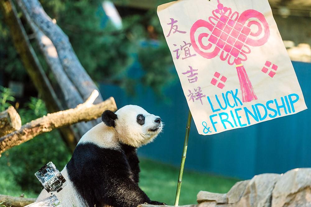 Панды в зоопарке Вашингтона