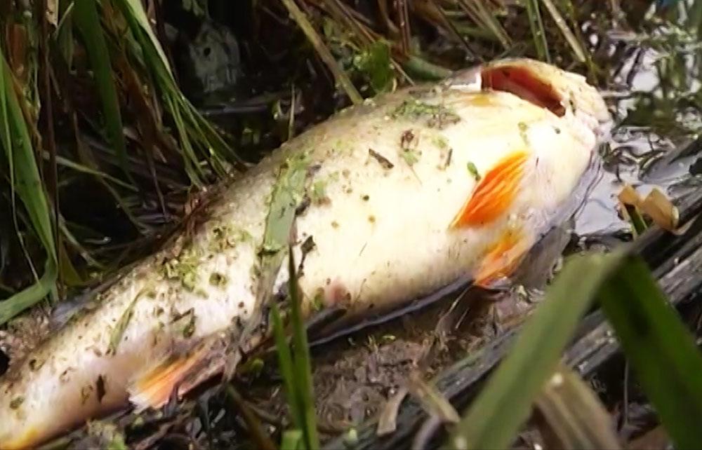 Погибшая рыба