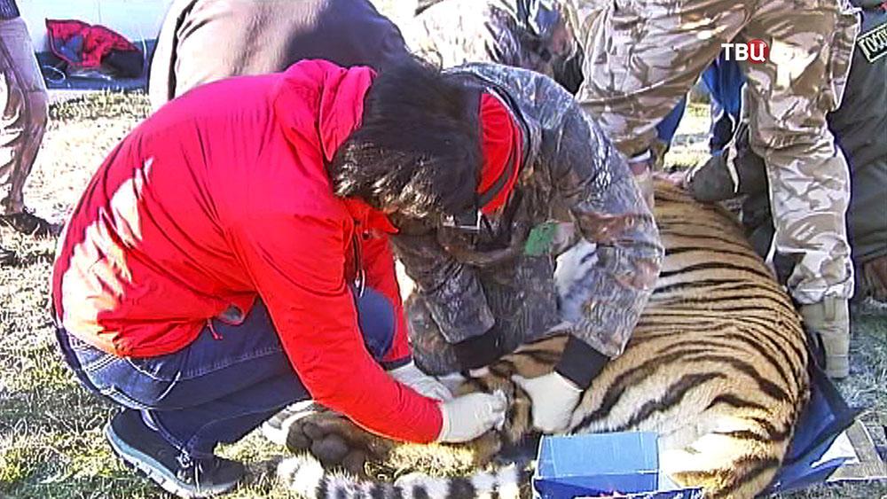 Пойманный амурский тигр