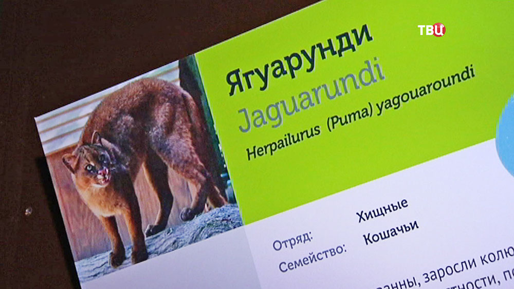 Ягуарунди в зоопарке