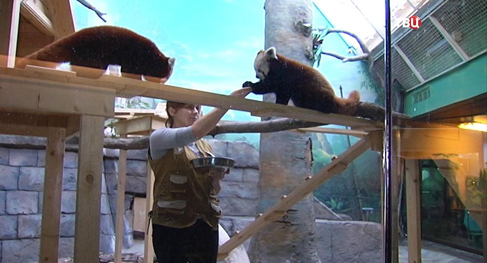 Кормление красной панды в Московском зоопарке