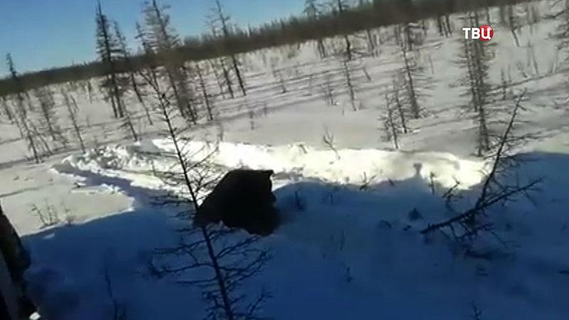 Пострадавший медведь