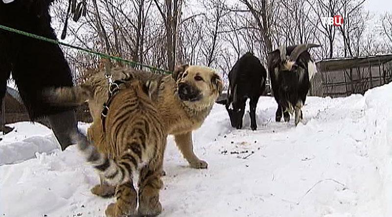 Сын тигра Амура играет с собакой