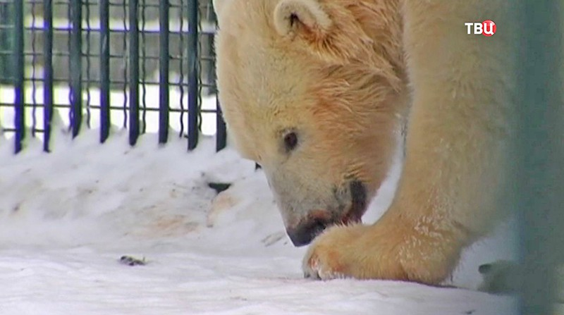 2-х белых медвежат Московского зоопарка отправят вБудапешт