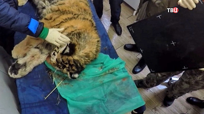 Раненого вПриморье тигренка прооперировали