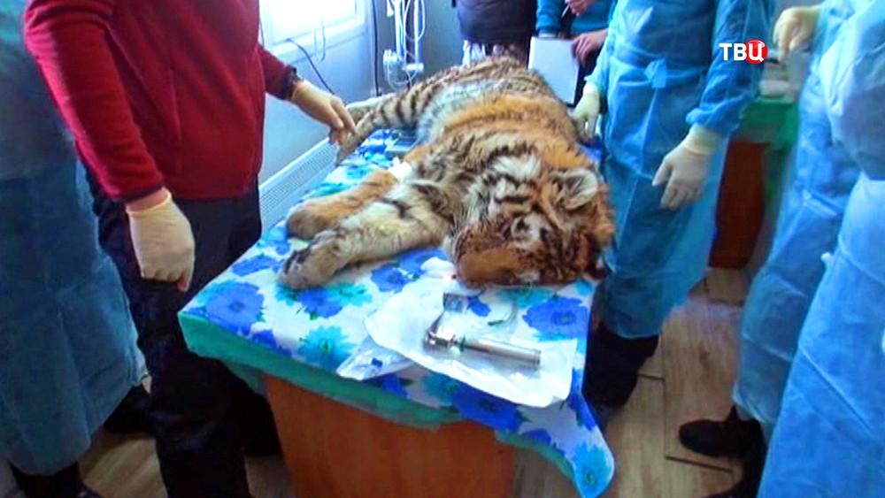 Врачи проводят операцию над тигренком
