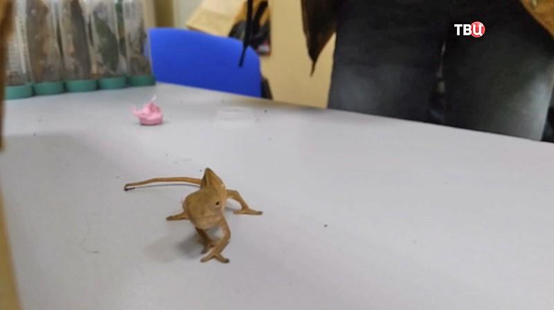 ВДомодедово упассажира изъяли 285 рептилий инасекомых
