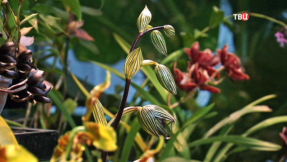 """Орхидея """"Венерин башмачок Ротшильда"""""""