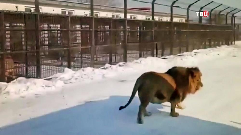 Толстый лев в китайском зоопарке