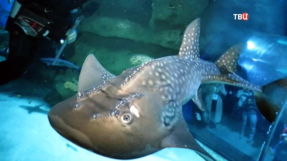 Акулий скат в океонариум