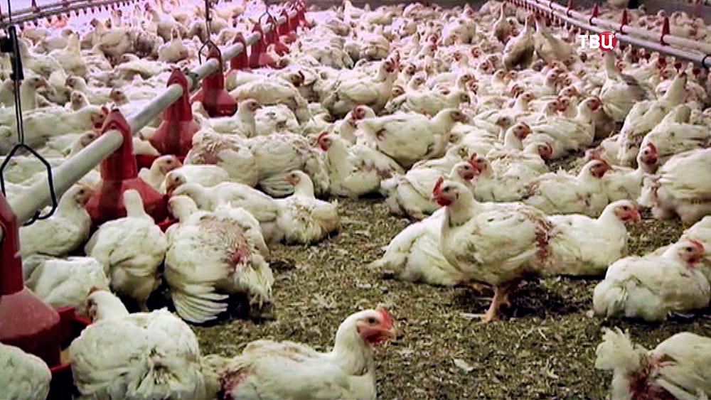 Куриная птицеферма