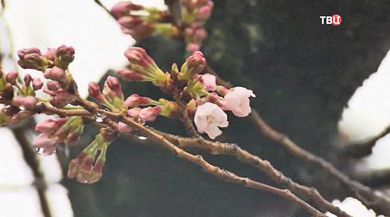 Цветения сакуры