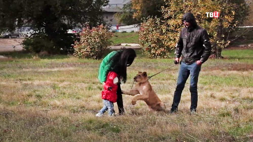 Семья выгуливает львицу на ошейнике