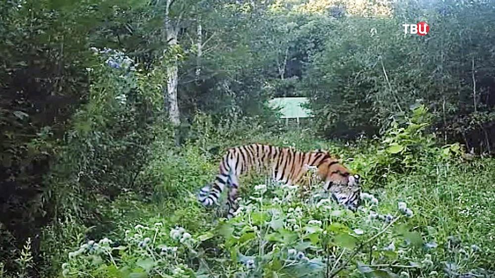 Тигрица Филиппа будет выпущена вприроду всубботу