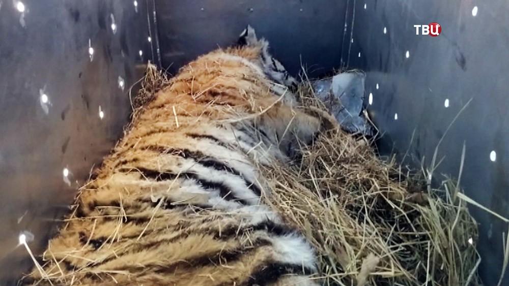 Перевозка тигрици