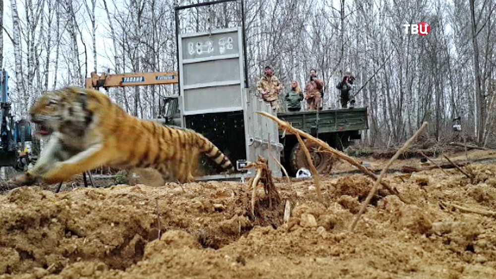 Тигрицу выпустили на волю