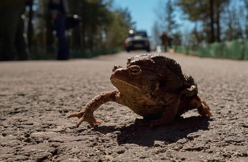 Серые жабы