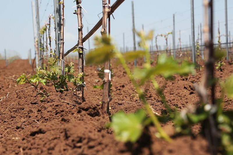 Посадка винограда в Крыму