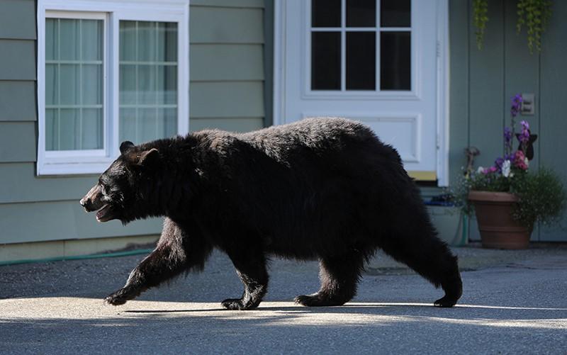 Медведь около жилого дома