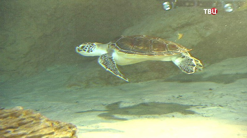 Краснокнижная черепаха