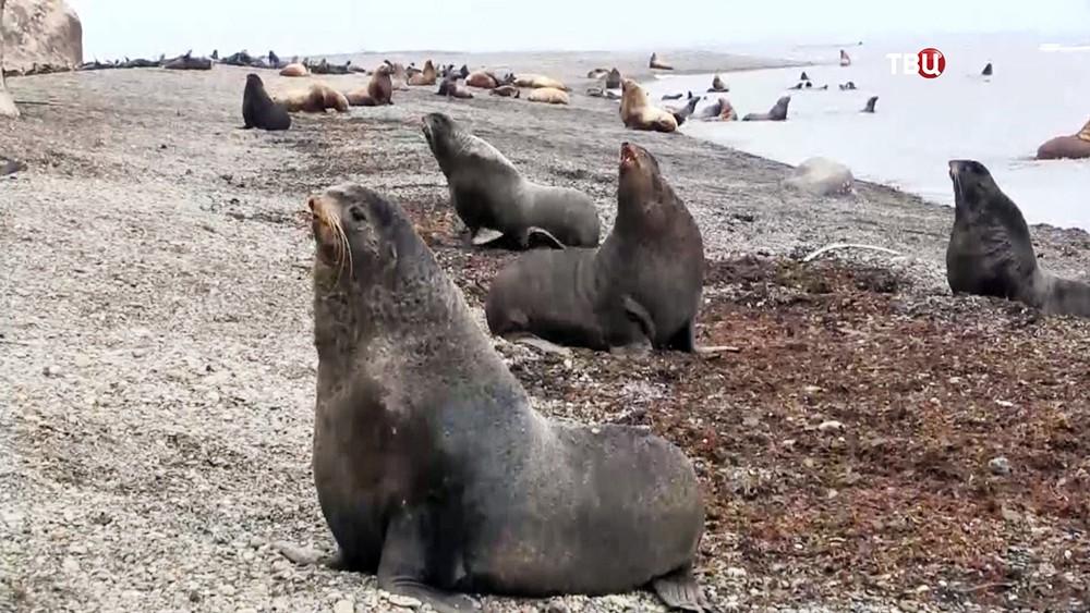 Тюлени на берегу