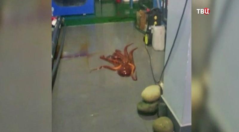 Осьминог пытался сбежать изПриморского океанариума
