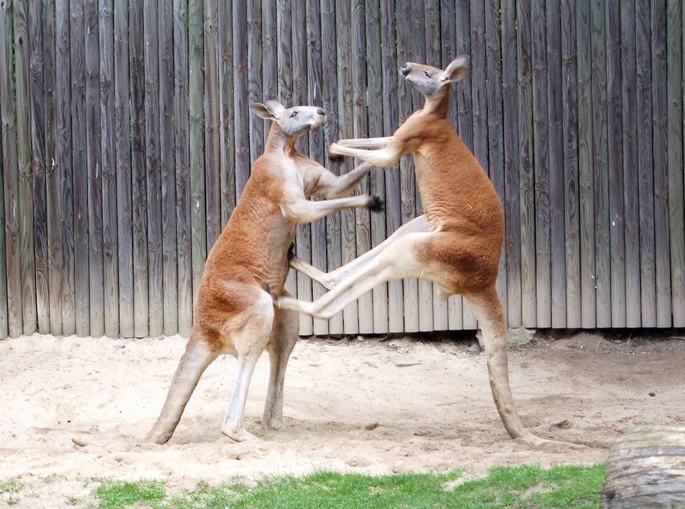 Дерущиеся кенгуру