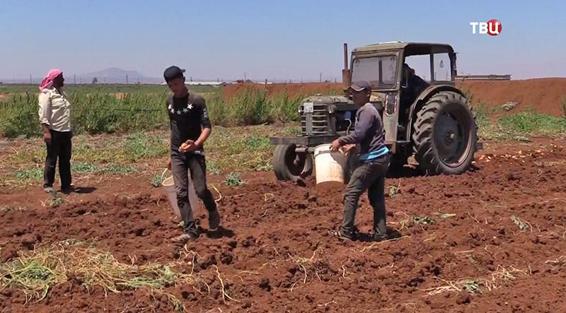 Сбор урожая в Сирии