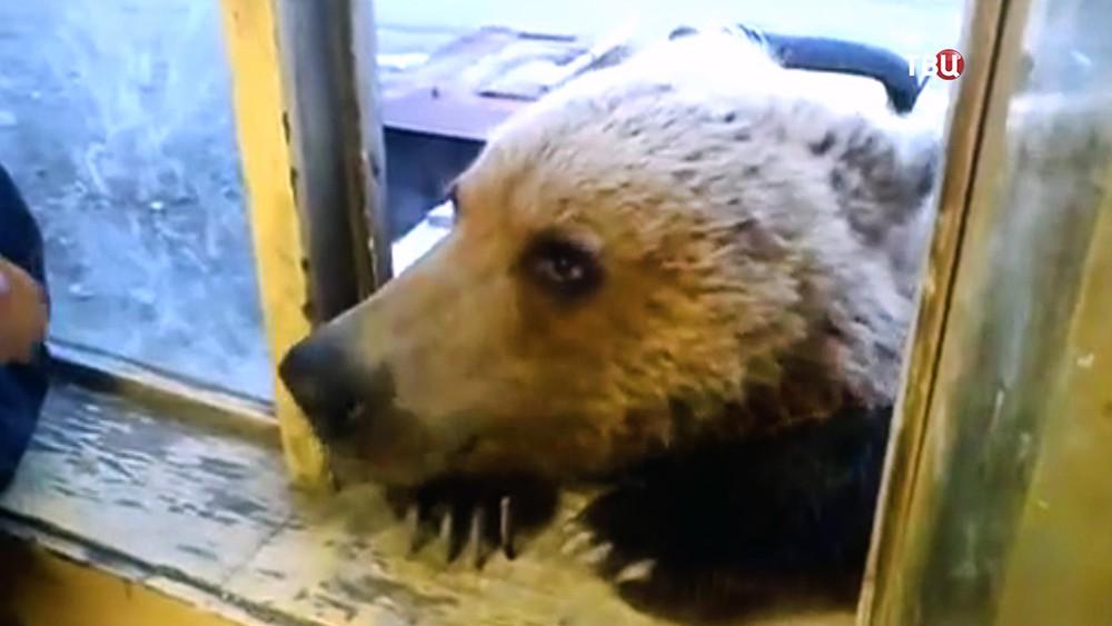Медведь в окне