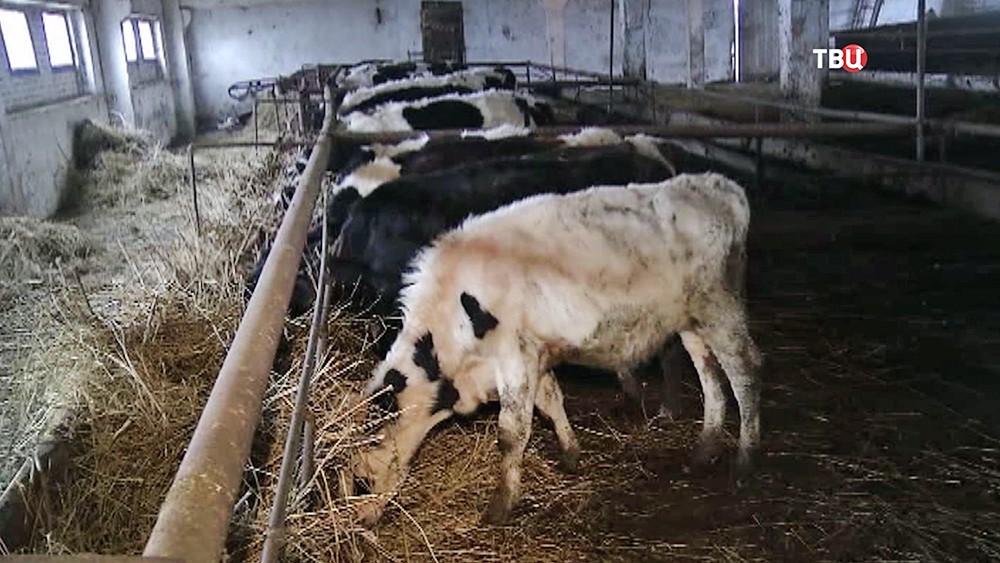 Голодные коровы