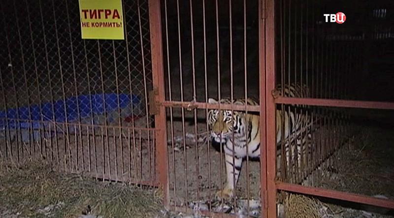 Пострадавший тигр