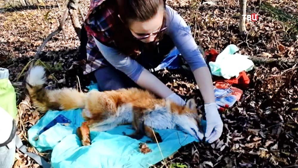 Ветеринар проверяет лису