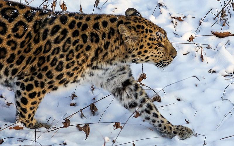 Самка дальневосточного леопарда