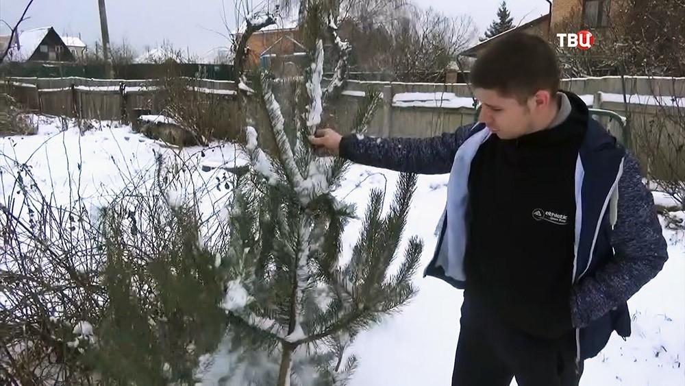 Украденная елка