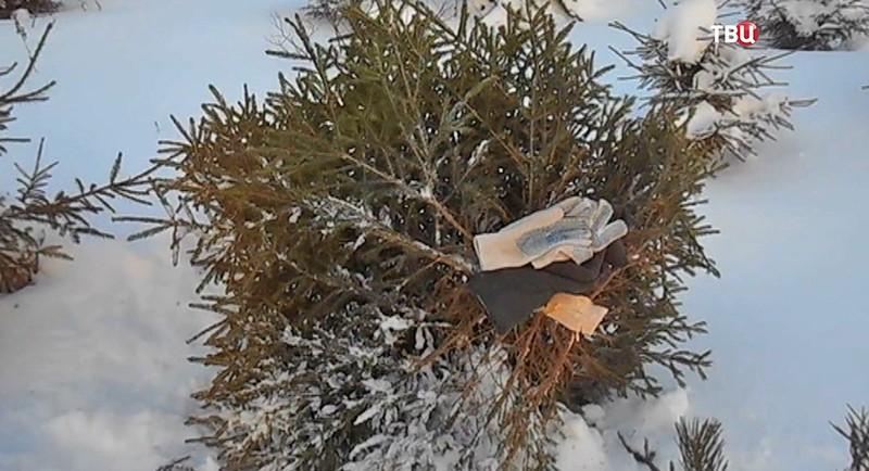 Срубленная елка
