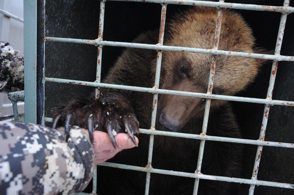 Отправка медведей Миши и Маши в Липецкий зоопарк