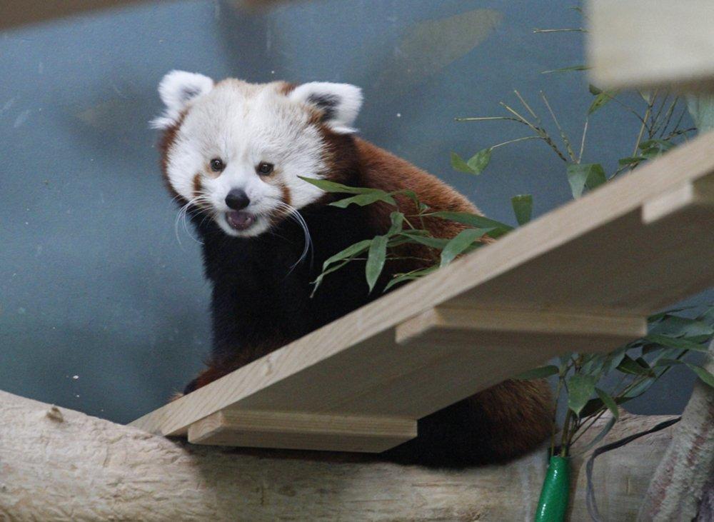 Красная панда в Московском зоопарке