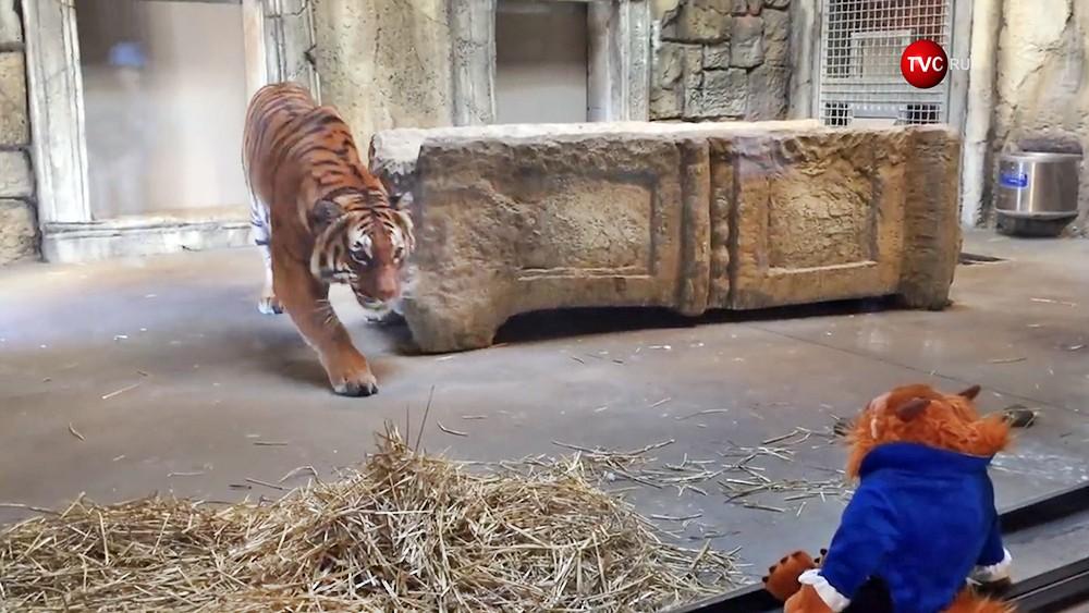 Тигр охотится за игрушкой в зоопарке в США