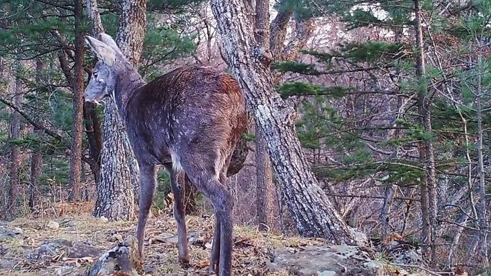 Саблезубый олень