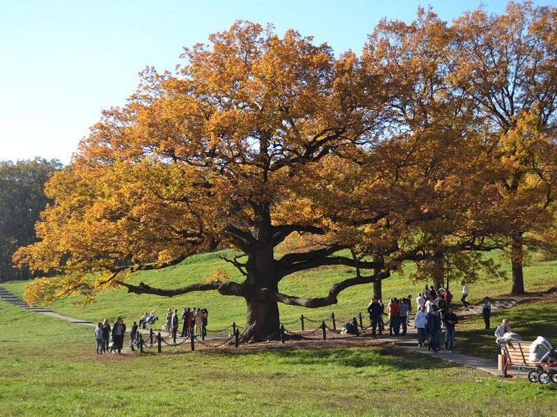 Дуб черешчатый в Белгородской области