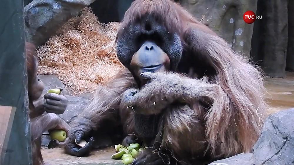 Орангутаны в Московском зоопарке