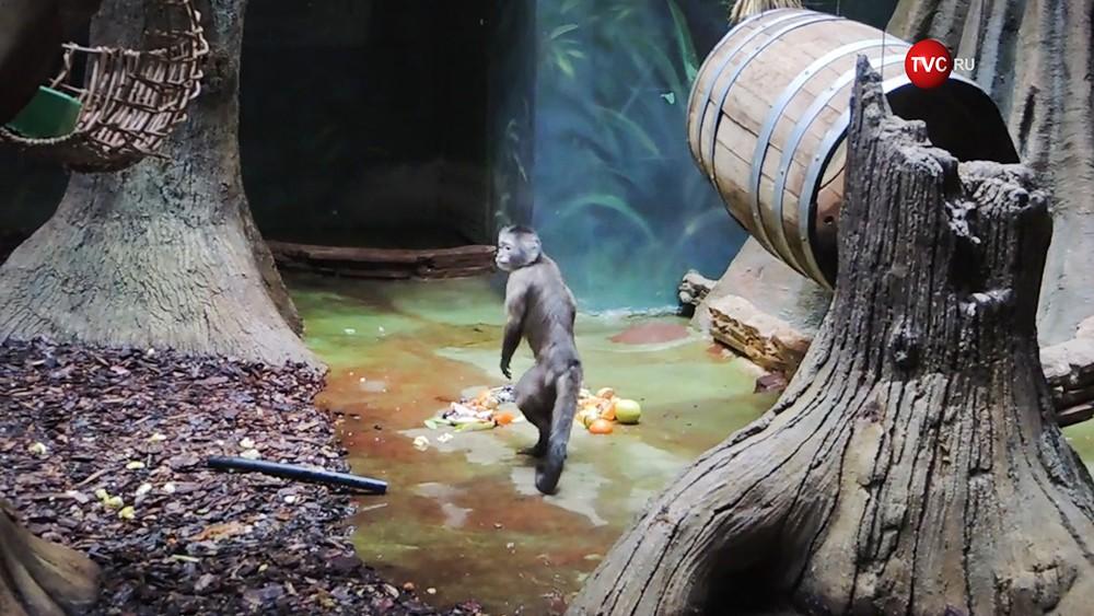 Капуцины в Московском зоопарке