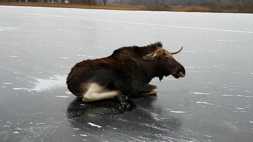 Лось на льду